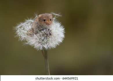 A small harvest mouse balancing on the top of a dandelion clock looking forward