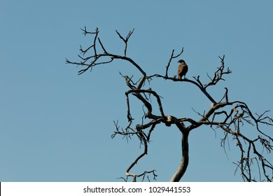 Small Hawk in old tree in front of blue sky