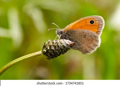 Small heath butterfly macro in spring