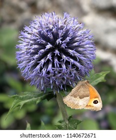 Small Heath Butterfly sitting on an Allium Flower