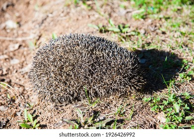 A small hedgehog curled up in a ball and basks in the sun against the background of fir trees