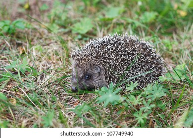 Small hedgehog in a forest glade