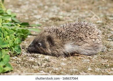 A small hedgehog in a garden near some grass