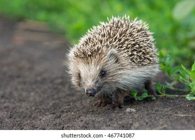 small hedgehog in the grass, Russia, village, summer
