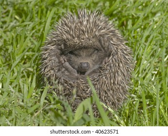 Small hedgehog in a green grass.