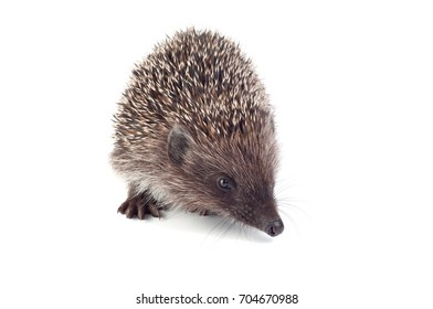 Small hedgehog on a white background