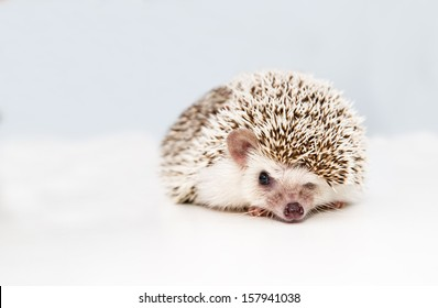 Small hedgehog on white studio background squeezes eye