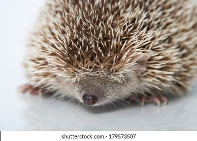 Small hedgehog tenrec isolated on white