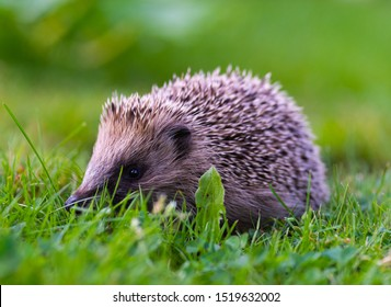 Small hedgehog visitor in the garden.