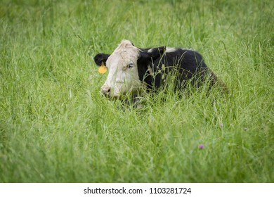 Small heifer dozing in long green grass