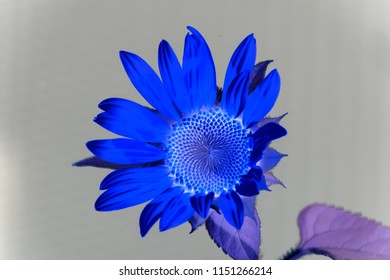 "small helianthus ""sunspot"" dyed bizarre, blue and purple colored abstract look of sunflower"