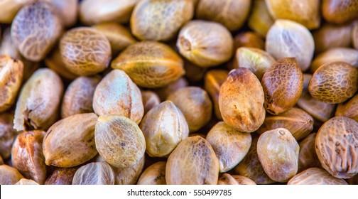 Small hemp seeds in macro view