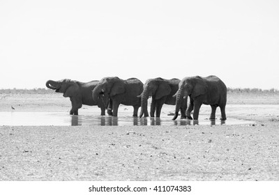 A small herd of 4 Elephants drinking from a watering hole in Etosha National Park. In black and white, monochrome.