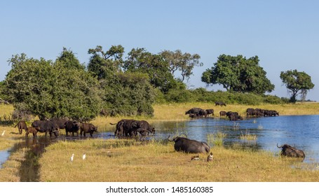 A small herd of Buffalo drinking at the edge of the Chobe River, Botswana watched by Cattle Egrets and White-faced Whistling Ducks.