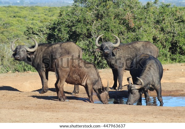 A small herd of buffaloes drink at a waterhole