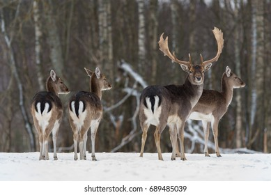 Small Herd Of Fallow Deer ( Daniel, Dama Dama ):Three Young Females Look Right And Stag,Looks At You.Four Beautiful Of Fallow Deer ( Dama Dama ) In Winter Time. Wildlife Animal Scene With Several Deer