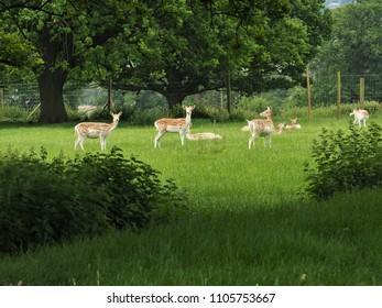 Small herd of fallow deer in a park
