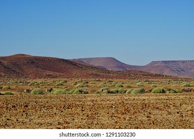 Small herd of four highly endangered, rare Hartmann's zebra, also known as mountain zebra. Damaraland, Namibia, Africa.