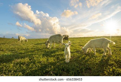 A small herd of goats crawling on a meadow on a sunny day