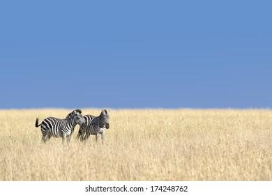 Small herd of Grants zebras  graze on Masai Mara grassland, Kenya