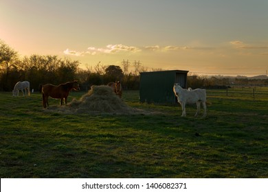 Small herd of horses eating straw at sunset on a farm in Garfield, rural Victoria, Australia.