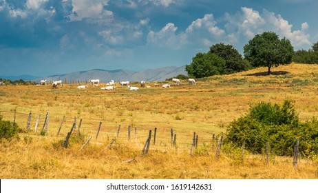 Small herd of Hungarian Grey cattle or Hungarian Steppe cattle  grazing in the summer in pasture in Italy