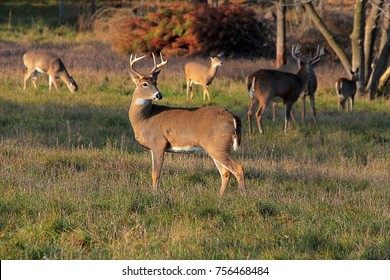 A small herd of Michigan whitetails