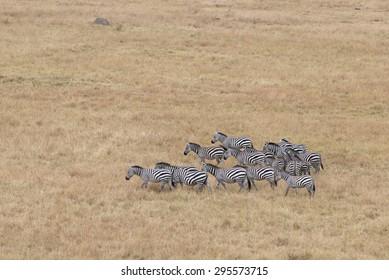 Small herd of plain zebras in savannah of Masai Mara National Reserve, Kenya
