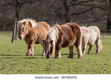 Small herd of ponies on the meadow