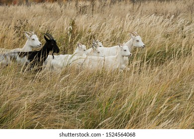 A small herd of seven goats runs in the tall grass. Copy space.