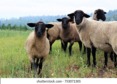 A small herd of Suffolk sheep interested in a stranger.