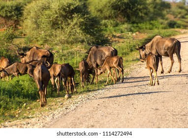 A small herd of Wildebeest across a stony road running through the African shrubland, almost oblivious to the approaching safari vehicle, in Madikwe National Park and Game Reserve in South Africa.