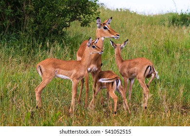 Small herds of impalas. Tarangire, Africa