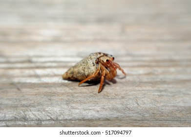 Small hermit crab on wood surface.