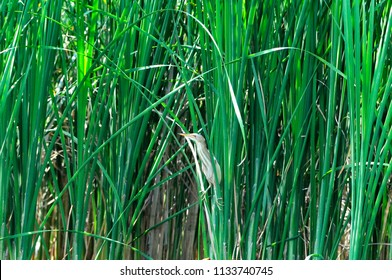 A small heron hides in the thickets of river bulrush. Plant River bulrush (Scirpus) . The little bittern or common little bittern (Ixobrychus minutus) is a wading bird in the heron family, male.