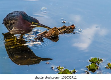 A Small Heron, or Wading Bird, Called a Green Heron (Butorides virescens).  Found Close to my Camera in the Swampy Waters of the Creekfield Lake in Brazos Bend State Park, Texas.