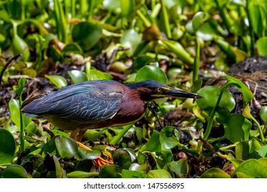 A Small Heron, or Wading Bird, Called a Green Heron (Butorides virescens).  Rare Shot of one Catching a Tiny Fish for Lunch in the Swampy Waters of the 40 Acre Lake at Brazos Bend, Texas.