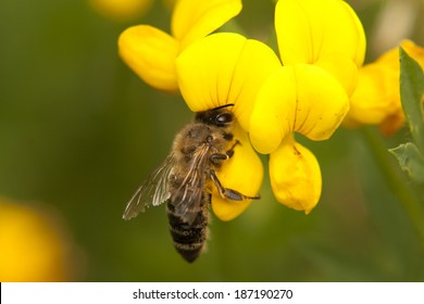 Small honeybee is pollinating the yellow flower