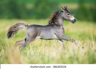 Small horse. Small horse galloping. Foal runs on green background