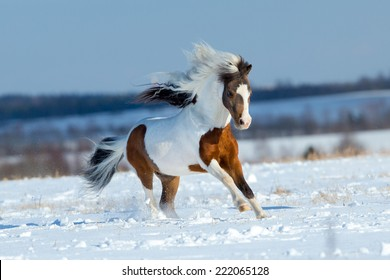 Small horse running in the snow in field