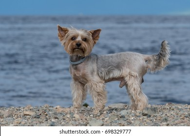 Small house dog on the seashore