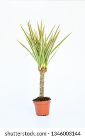 Small houseplant palm tree  growing in brown pot with green leave isolated on white background, indoor palm for decorative in house.