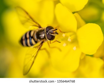 A small hoverfly feeds from a cluster of wild mustard flowers in a Japanese park. These edible plants are often eaten by the Japanese and are sometimes planted in green spaces for public harvest.