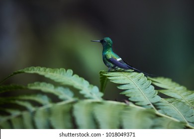 Small hummingbird with long tail, Discosura conversii, Green Thorntail, male  perched on bracken leaf. Rainforest, Costa Rica.