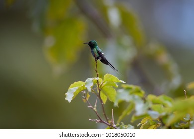 Small hummingbird with long tail, Discosura conversii, Green Thorntail, male  perched on twig in rainforest, Costa Rica.