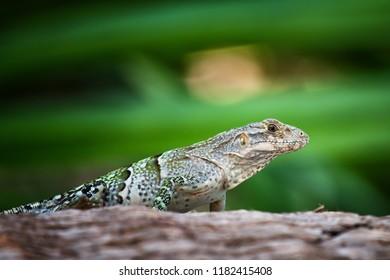 Small iguana negro lie and watch