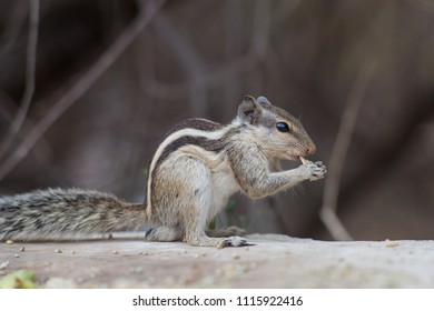 A small Indian palm squirrel, sitting on the ground eating.