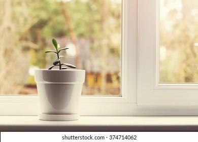 small indoor crassula plant in pot on window sill