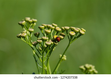 Small insect (Coccinellidae) on field flowers.