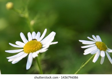 A Small insect is on a white and yellow scentless mayweed flower. The flower could be mistaken for a daisy. In the background, there is another flower and green meadows.